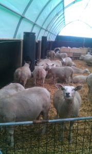 flexstal schapen E6-24b