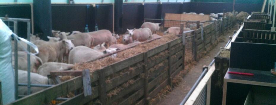 Koeien, kalveren, schapen, geiten, paarden etc.
